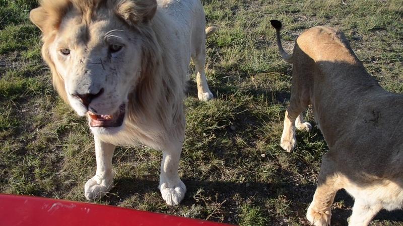 ЖЕСТЬ Олег Зубков держит прайд львов читая им лекцию пока ест лев Филя Тайган .Крым