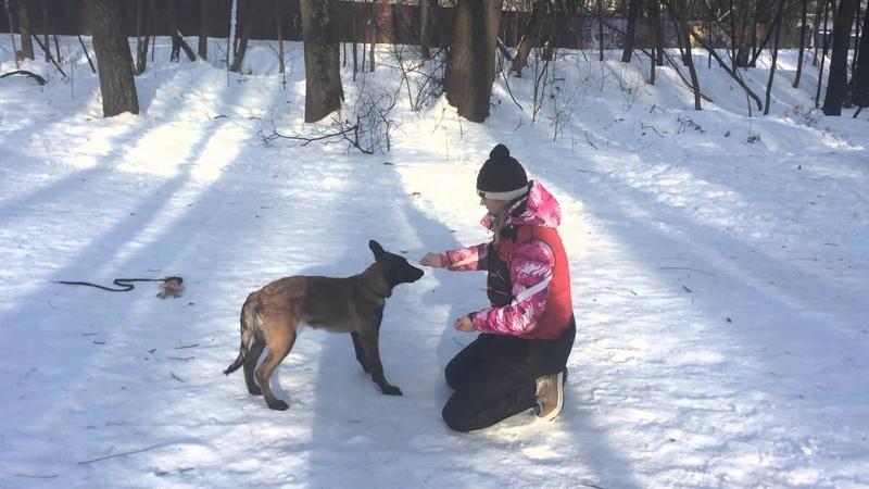 Обучение щенка. Выдержка в положении стоять.