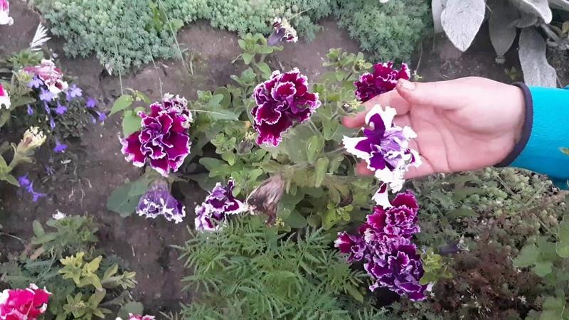 Цветы на клумбе с июня до октября петуния