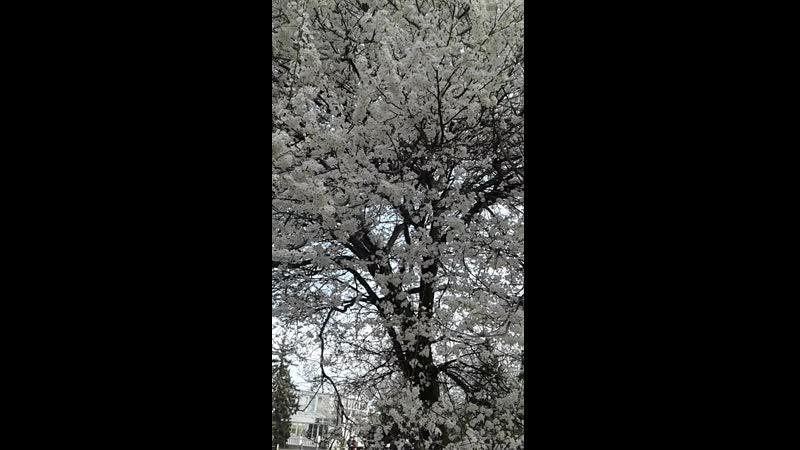 Буйное цветение в Севастополе Весна 21 03 2019 г