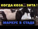 Когда коза Зита Пустил Маркуса в стадо