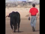 Удивительная дружба человека и быка (6 sec)