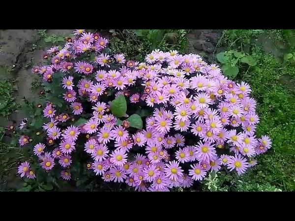 Обрезаем хризантему на зиму и укрываем ее