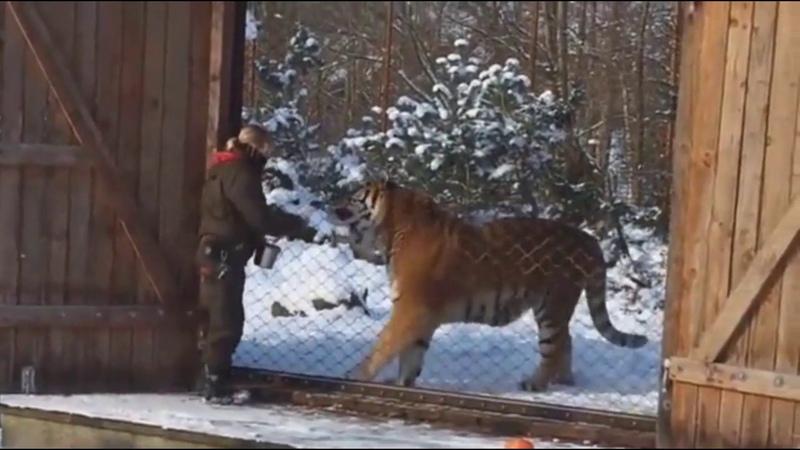 真正的西伯利亞虎有多大How big is a real Siberian tiger