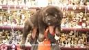 Продается щенок кавказской овчарки, сука №4. r-risk 7 926 220 5603 Ягодкина Татьяна