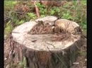 Черному лесорубу дали 4 года