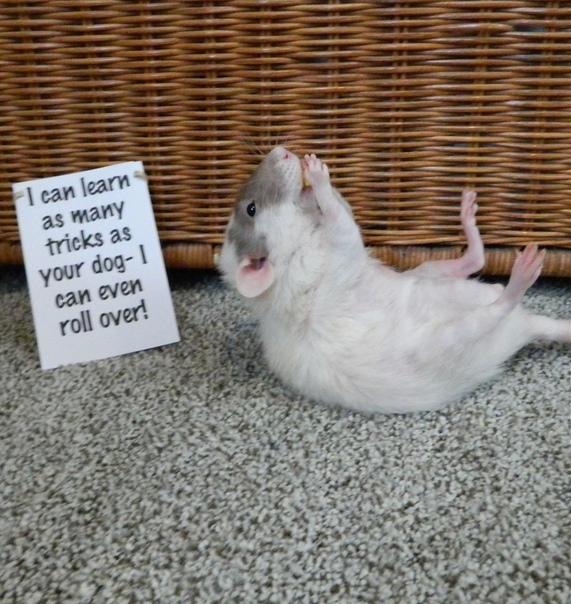 – Я не живу в канализации – Я провожу, умываясь, времени столько же, сколько и твоя кошка – Домашняя крыска не значит уличная крыска – Мой хвост это просто хвост - успокойся – Я могу научиться