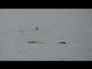Нильский крокодил нападает на бычью акулу