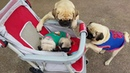 Pugs Play in Pram ViralHog