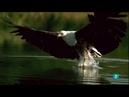 Филины воруют птенцов, драка змеи и мангуста, цапля против змеи. Великие бои природы