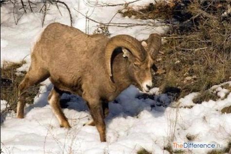 Разница между бараном и овцой На первый взгляд, баран и овца отличаются друг от друга только тем, что одно существо мужского пола, а другое женского. Но, если отнестись к вопросу внимательней,
