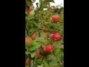 яблоневый сад (смотреть, прищурив один глаз)