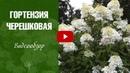 Гортензия черешковая посадка и уход ✅ Сад огород с HitsadTV