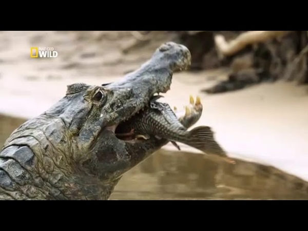 Ягуары против крокодилов