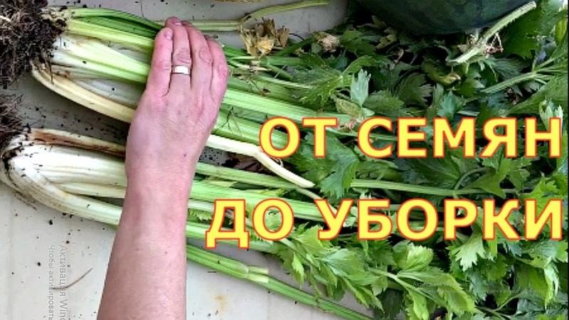 ЧЕРЕШКОВЫЙ СЕЛЬДЕРЕЙ Когда сеять как выращивать Шпинат салат укроп кинза