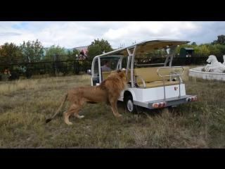 Лев олежка выгнал всех из автомобиля и поехал кататься ! тайган