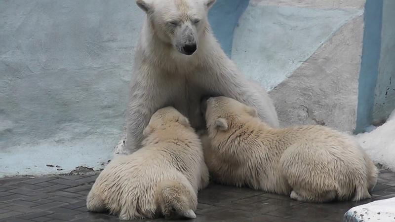 Белая медведица Герда кормит медвежат Норди и Шайну. Новосибирский зоопарк.