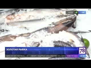 Золотая рыбка. Неделя в Петербурге.