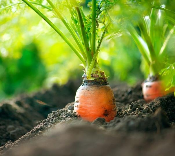 Как выращивать Нантскую морковь Благодаря отменным характеристикам морковь Нантская весьма популярна. Трудно поверить, но этот сортотип существует более 70 лет! Выведенный еще в 1943 году