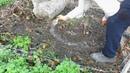 Лечение деревьев от камедетечения -осенью .подкормка на зиму