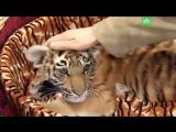 Тигры тоже котики
