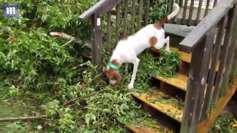 США, Северная Каролина. Группа волонтёров сняла момент спасения шестерых псов, которые пережили стихийное бедствие, находясь в з