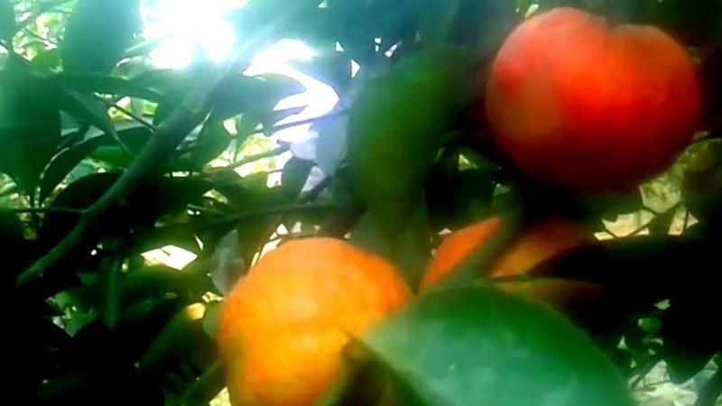 চাইনিজ মিষ্টি কমলা চাষ বাংলাদেশে -২।৬- বছরে