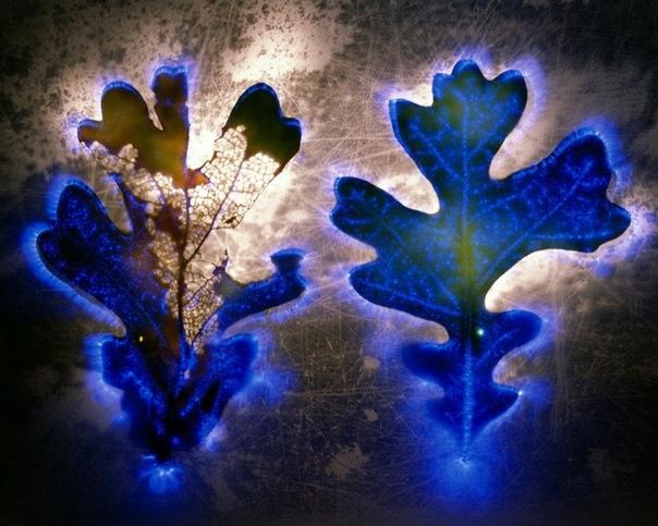 Аура цветов. Роберт Буэльтеман (Robert Buelteman) Чтобы получить эти необычные, как бы светящиеся изнутри цветы, Роберт Бьюельтеман пропускает через них ток высокого напряжения до 80 тысяч