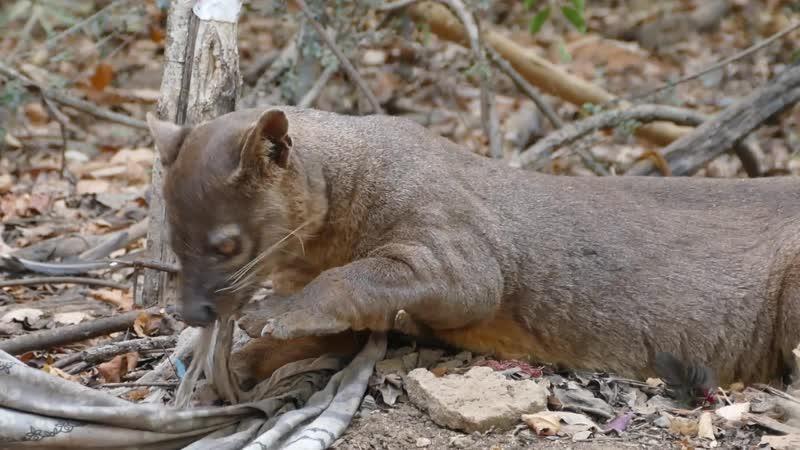Кошка или мангуст Фосса Мадагаскара