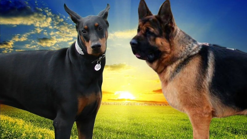 Doberman VS German Shepherd dog Highlights