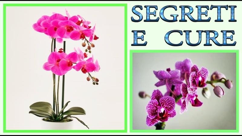 Orchidea, tutti i segreti su come curarla, farla fiorire e riprodurre