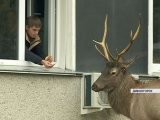 Показываем операцию по спасению оленя в Дивногорске