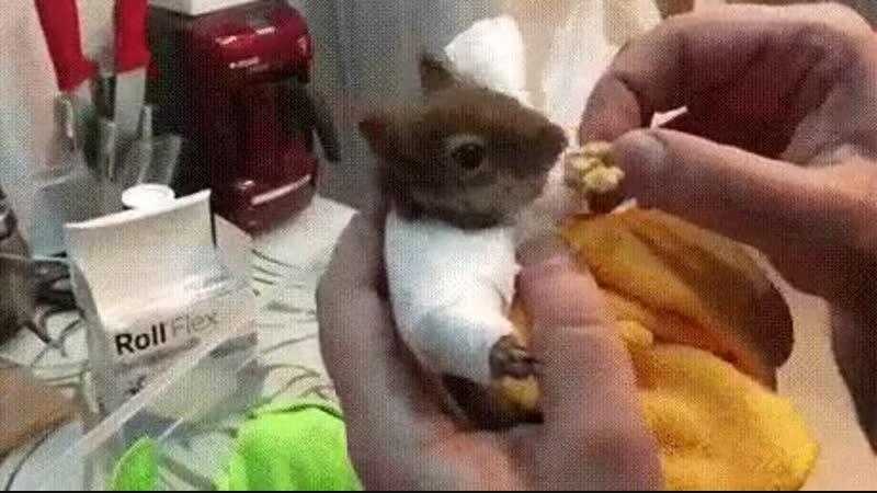 Белка со сломанными лапками, ест орех с руки доктора Айболита.