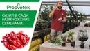 Чудо ягода КИЗИЛ нужна каждому Как вырастить из косточки плодовые растения