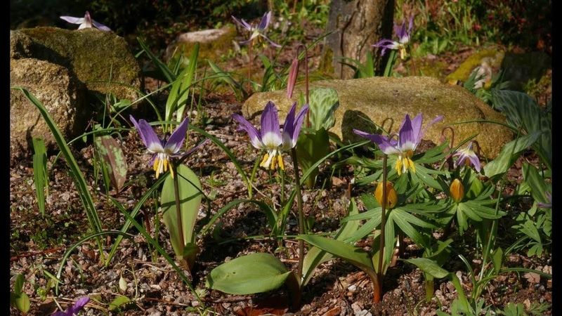 Bulb Log Video Diary Supplement Erythronium sibiricum joins a host of other spring flowers