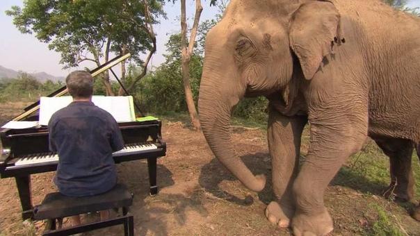 Elephant Sonata. Пианист Пол Бартон играет классическую музыку больным слонам, чтобы им стало легче. У пианиста Бартона огромная аудитория. В прямом смысле огромная. Его главные поклонники —