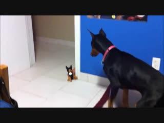 Напугал собаку игрушкой. Видео приколы.