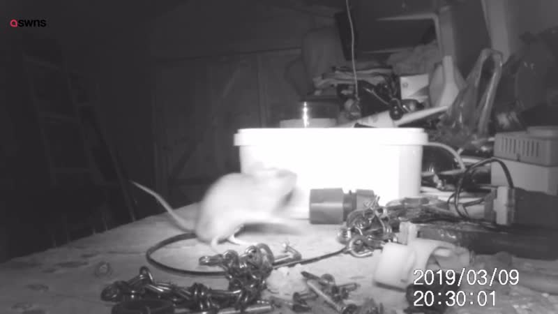 House-proud mouse caught on camera tidying garden shed ¦ SWNS TV