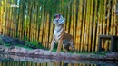 Nat Geo Wild: Игры больших кошек (1080р)