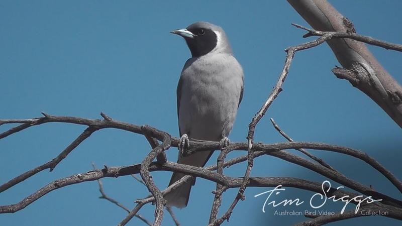 Masked woodswallow / Маскированный ласточковый сорокопут / Artamus personatus