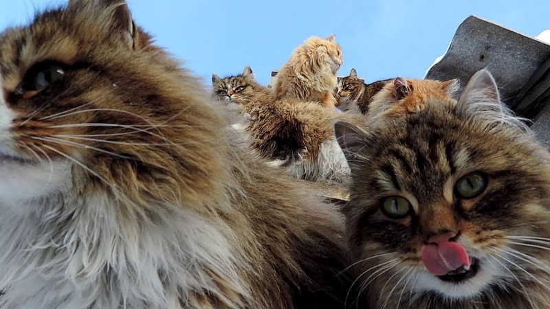 Март Сибирские Алтайские кошки Siberian Cats, March, 2014