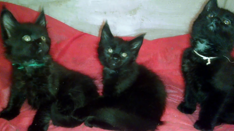 Зомбирование котят Мейн кунов. Zombie kittens Maine Coon