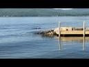 Белоголовый орлан проплыл по озеру в стиле баттерфляй
