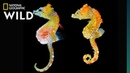 This New Species of Pygmy Seahorse is the Size of a Lentil Nat Geo Wild