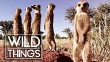 Meerkats In The Wild Episode 5 Of Kalahari Meerkats Wild Things