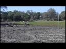 Молодой нильский крокодил пугает зебру