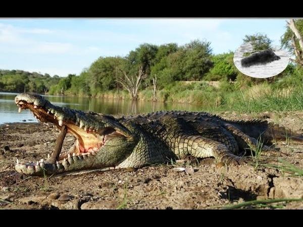 Hunting crocodile in Africa Jag krokodil in Afrika Chasse crocodile en Afrique