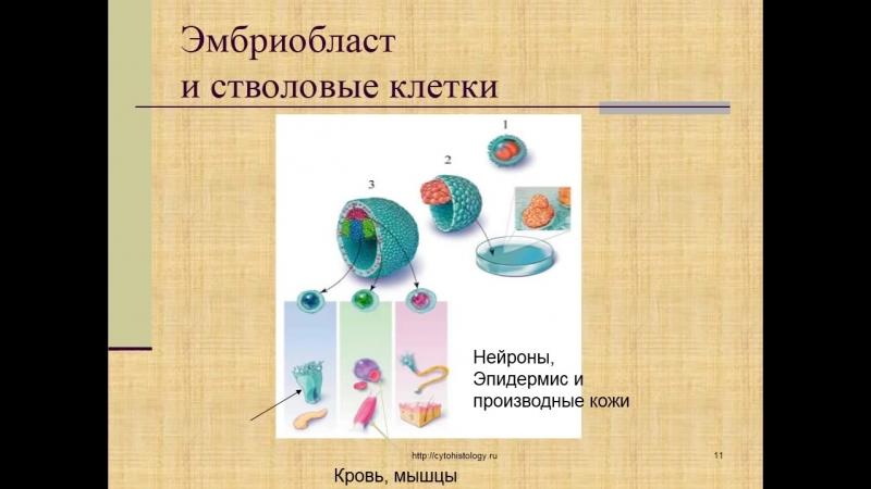 Эмбриология. 2. Начальный период дробление, имплантация. Гаструляция 1.
