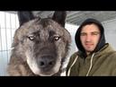 Самый большой волк на планете The biggest wolf on the planet Канадский волк волк крупный волк