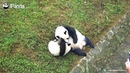 Toffee The Panda That Disturbed Mom's Rest Is An Example! | iPanda
